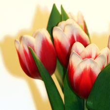 Free Tulip Bouquet Royalty Free Stock Photo - 7927235