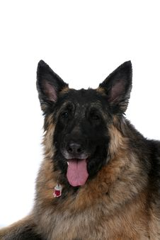 Big Dog With Black Face And Tongue Hanging Out Stock Photos