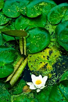 Free Lotus On Water Royalty Free Stock Photos - 7928908