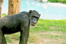 Free Chimpanzee Royalty Free Stock Photo - 7929275