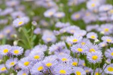 Free Field Of Purple Flowers Royalty Free Stock Image - 7929726