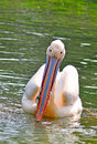 Free White Pelican Stock Images - 7934944