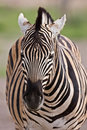 Free Zebra Stock Photo - 7938150