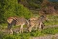 Free Zebras Royalty Free Stock Image - 7938766