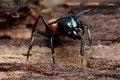 Free Black Big Head Ant Stock Photo - 7939210