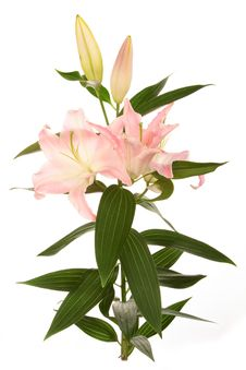 Free Pink Lilly Stock Photo - 7930330