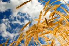 Golden Wheat In The Sky Background Stock Image