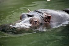 Free Hippopotamus Royalty Free Stock Photo - 7930595