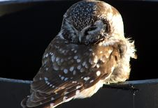 Owlet In Quebec,Canada Stock Photography