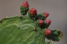 Free Prickly Pear Cactus Stock Photos - 7933263
