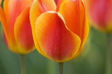Free Glowing Tulips Royalty Free Stock Photo - 7933335
