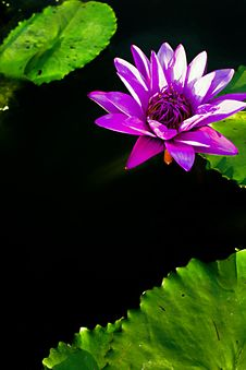 Free Lotus Water Lilly Royalty Free Stock Image - 7935606
