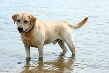 Free Happy Labrador Costs In Water Stock Photography - 7936272