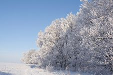 Free Oaks Covered With Snow Royalty Free Stock Photos - 7936638