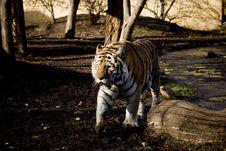 Free Tiger Stock Photos - 7937133
