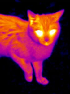 Free Thermograph-Cat S Head 2 Royalty Free Stock Images - 7937329