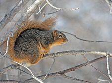 Free Squirrel In A Tree Stock Photos - 7937393