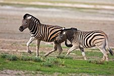 Free Zebras Fighting Royalty Free Stock Photography - 7937937
