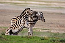 Free Zebras Fighting Royalty Free Stock Photo - 7938015
