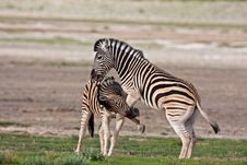 Free Zebras Fighting Stock Photography - 7938072