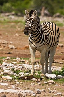 Free Zebra Stock Image - 7938491