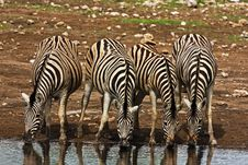 Free Zebras Stock Photography - 7938552