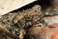Free Frog On Dry Leaf Stock Photo - 7939170