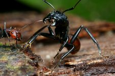 Black Big Head Ant Stock Photos