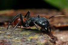 Black Big Head Ant Royalty Free Stock Image