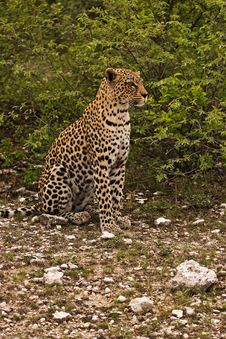 Free Close-up Of Leopard Stock Image - 7939691