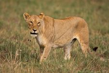 Free Lioness Royalty Free Stock Image - 7939826