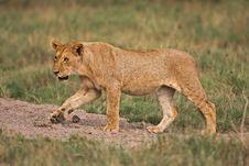 Free Lioness Stock Image - 7939951