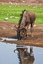 Free Wildebeest Royalty Free Stock Photo - 7940405