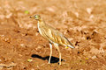 Free Black Crowned Heron Royalty Free Stock Image - 7948626