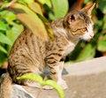 Free Wild Cat Royalty Free Stock Image - 7948716