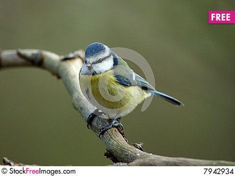 Free Blue Tit Stock Images - 7942934