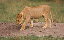 Free Young Lion Royalty Free Stock Image - 7940086