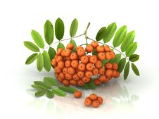 3D Rowan Berries Bunch Royalty Free Stock Image