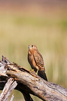Free Kestrel Stock Photography - 7941292