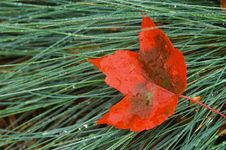 Free Red Maple Leaf Laying On Wet Grass Stock Images - 7942924