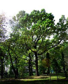 Free Tree Oak Royalty Free Stock Photos - 7943338