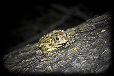 Free True Toad Stock Photo - 7944650