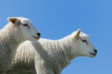 Cute Lambs Stock Images