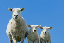 Free Cute Lambs Stock Images - 7944694