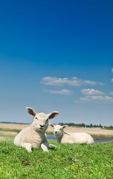 Free Cute Lambs Royalty Free Stock Photography - 7944867
