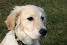 Free Golden Retriever Puppy Stock Photography - 7945462