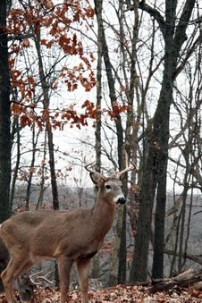 Free Whitetail Bucks Royalty Free Stock Photos - 7945898
