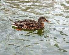 Free Wild Duck Royalty Free Stock Image - 7947196