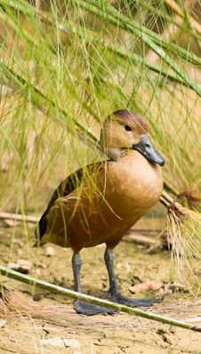 Free Duck Hiding In Reeds Stock Photos - 7947373