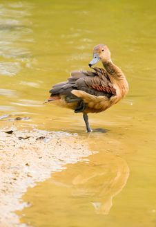 Duck Preening At Water S Edge Royalty Free Stock Images